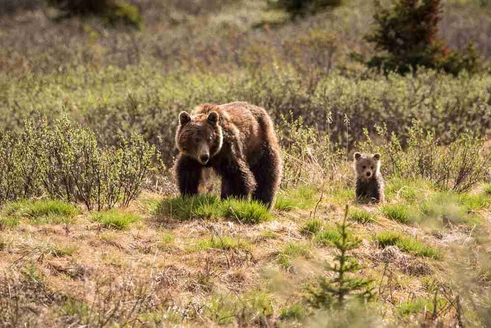El oso pardo y el osito bebe caminan juntos en Jasper National Park en Alberta, Canadá, un destino ideal para vacacionar con la familia